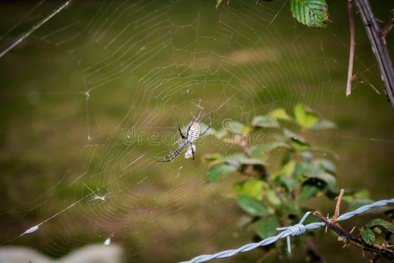 Ragno giallo e nero e web - 2 immagine stock