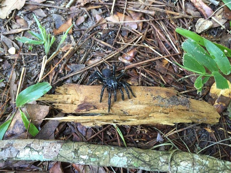 Ragno maschio Ummidia della botola immagini stock libere da diritti