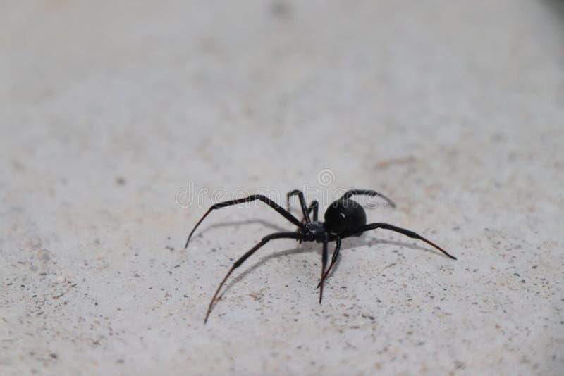 Ragno molto pericoloso e tossico della vedova nera fotografia stock