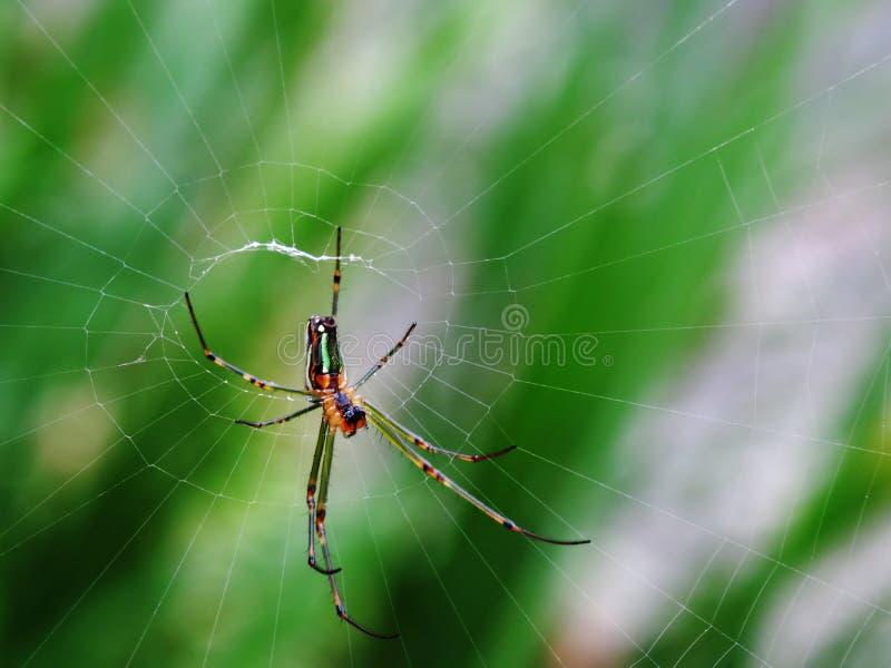 Ragno nel Web immagine stock