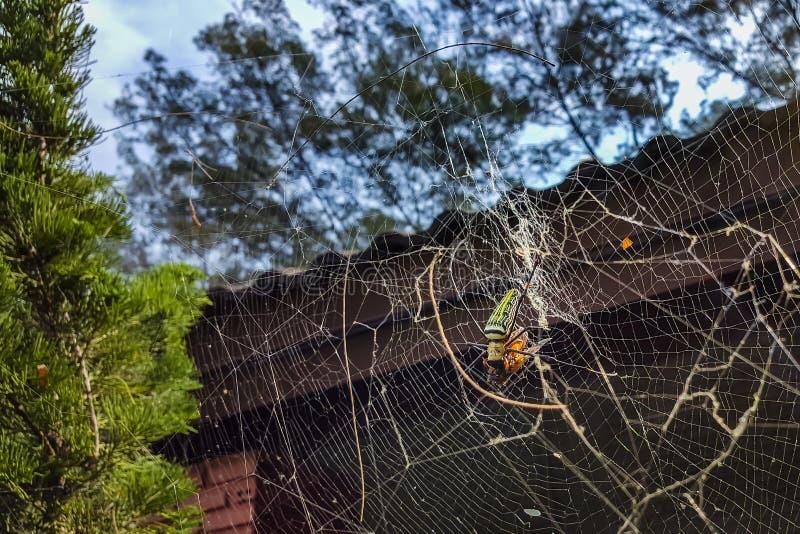 Ragno, Nephila Pilipes mangiante la sua preda sulla ragnatela fotografia stock