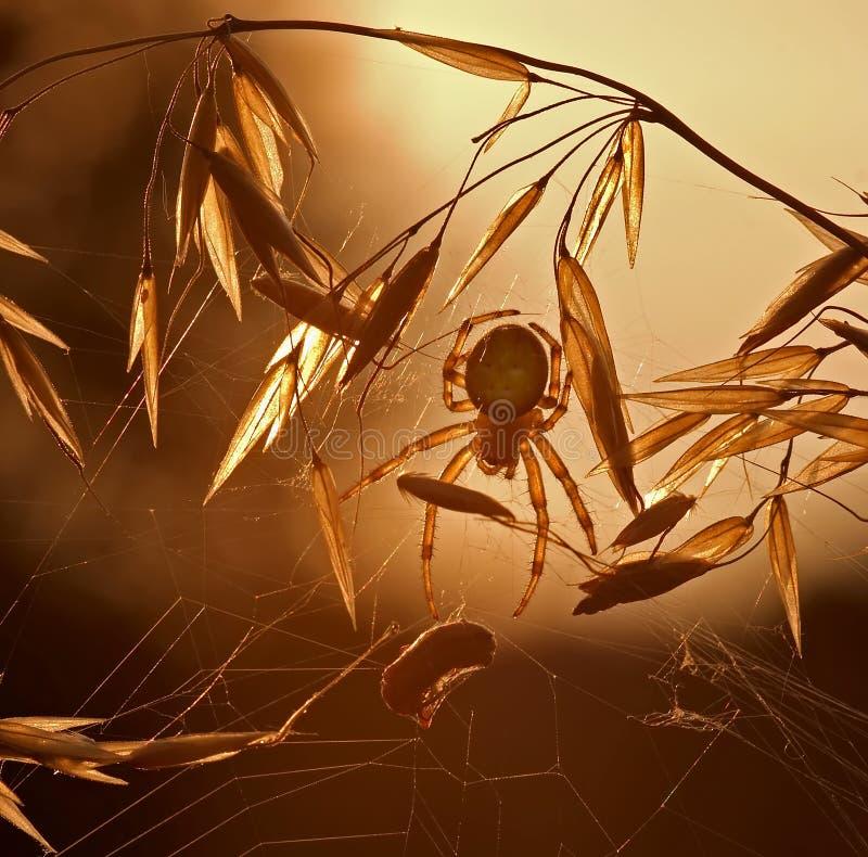 Ragno sul prowl fotografie stock
