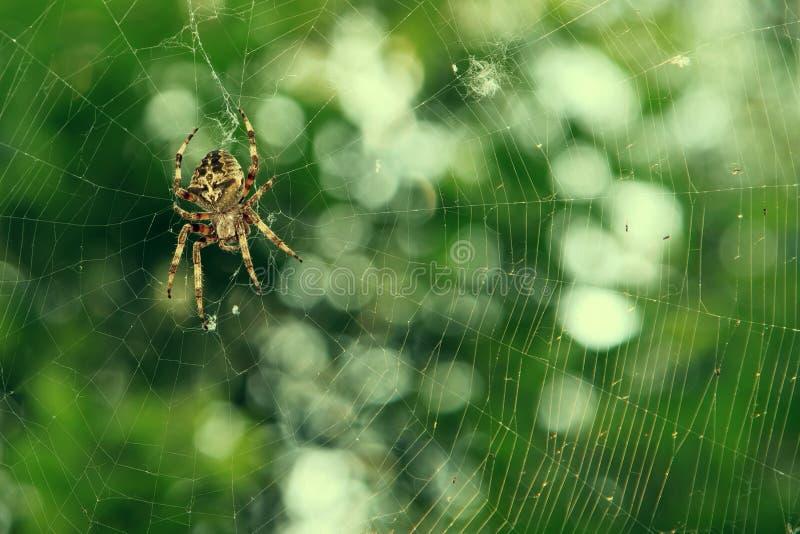 Ragno sul web sopra fondo verde fotografia stock