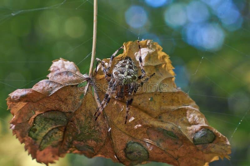 Ragno trasversale del T nella sua rete fotografia stock