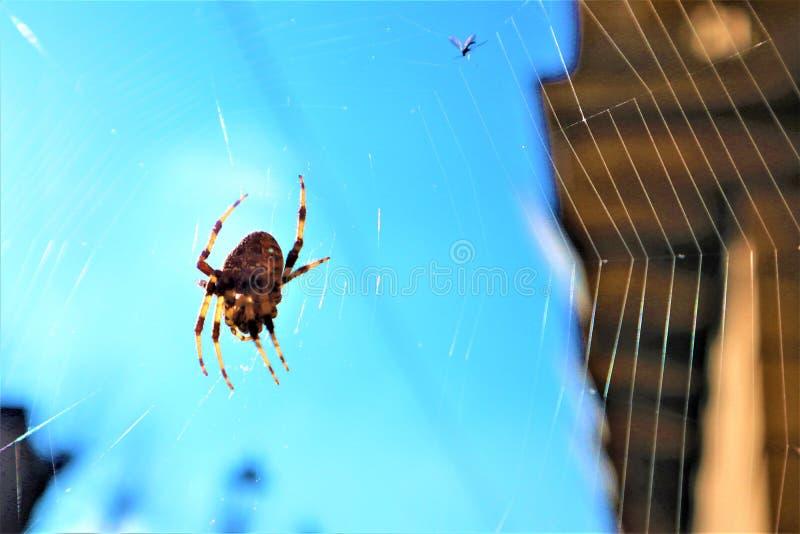 Ragno trasversale europeo sul web immagini stock