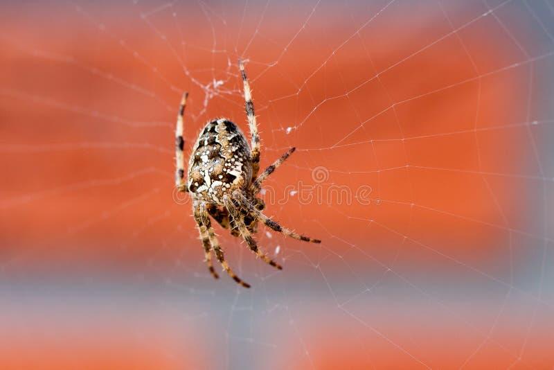 Ragno in un Web fotografie stock libere da diritti