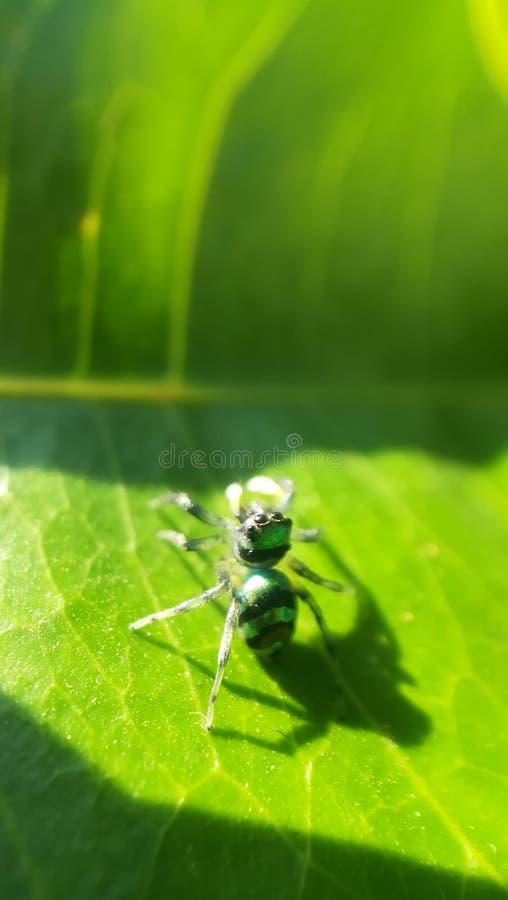 Ragno verde fotografie stock libere da diritti