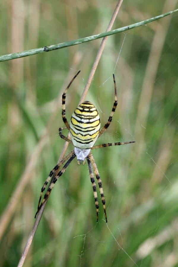 ragno vicino sulla vespa immagini stock
