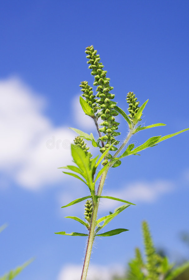 Download Ragweed immagine stock. Immagine di allergia, erbaccia - 203003