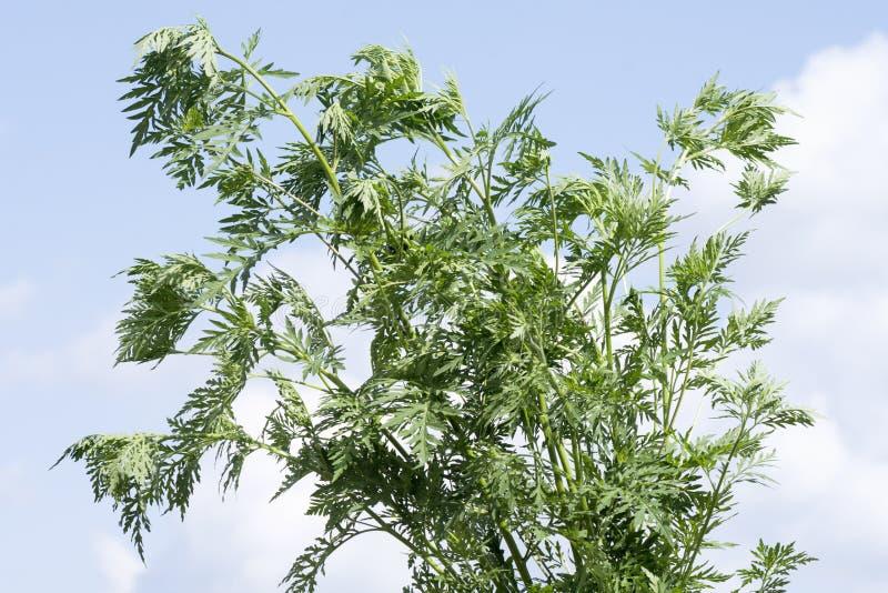 Ragweed ambrosia plant allergy. Ragweed or ambrosia plant on blue sky background, ragweed allergy or ambrosia allergy concept stock photos