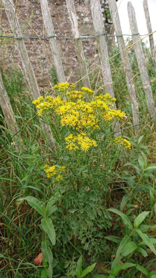 Ragwort by a fence at Budle Bay royalty free stock photography