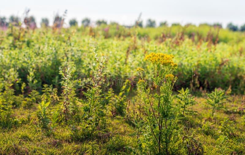 Ragwort floreciente amarillo delante de un backgroun natural borroso fotos de archivo