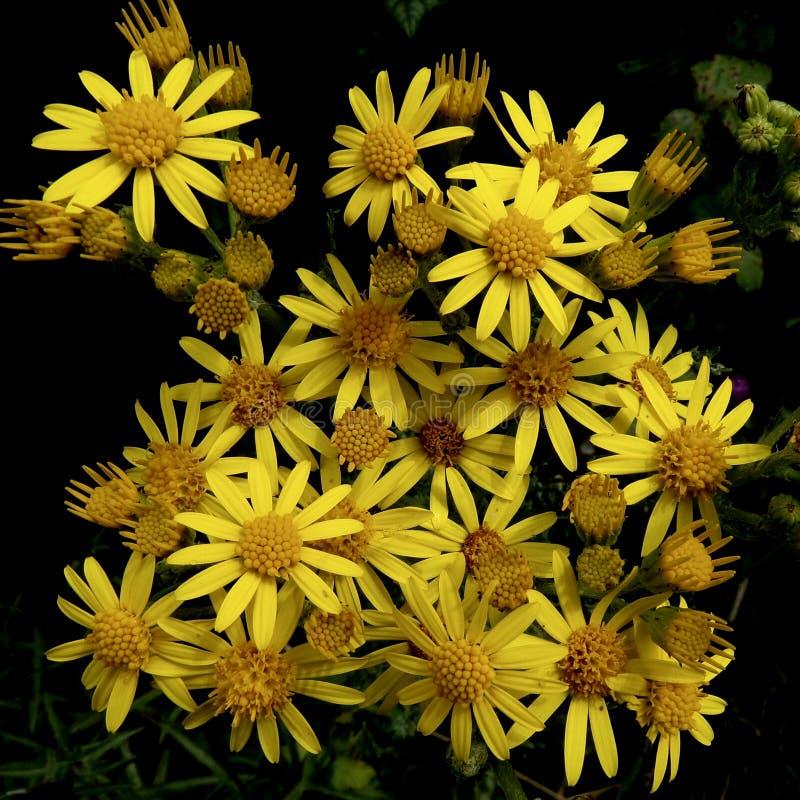 Ragwort, flores salvajes, Inglaterra imagen de archivo libre de regalías
