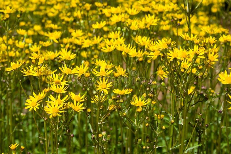 Ragwort flowers stock image