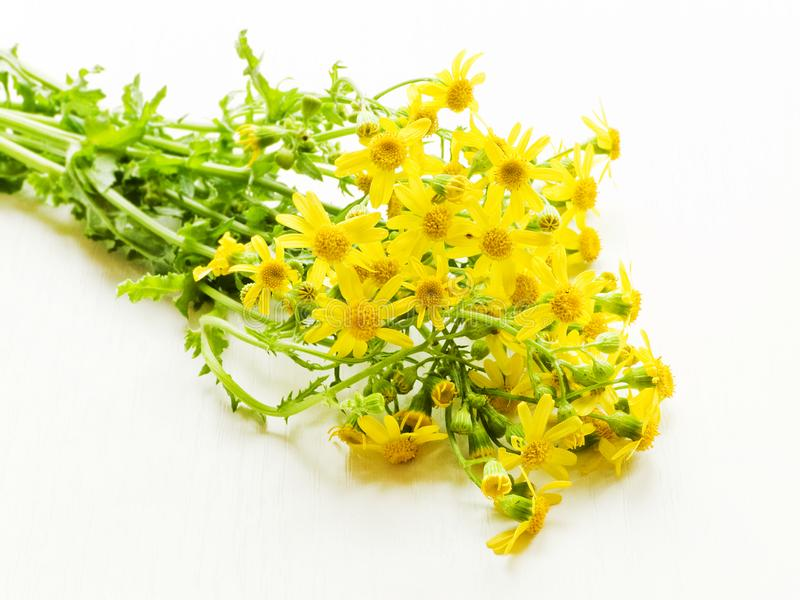 Ragwort flowers on white stock images