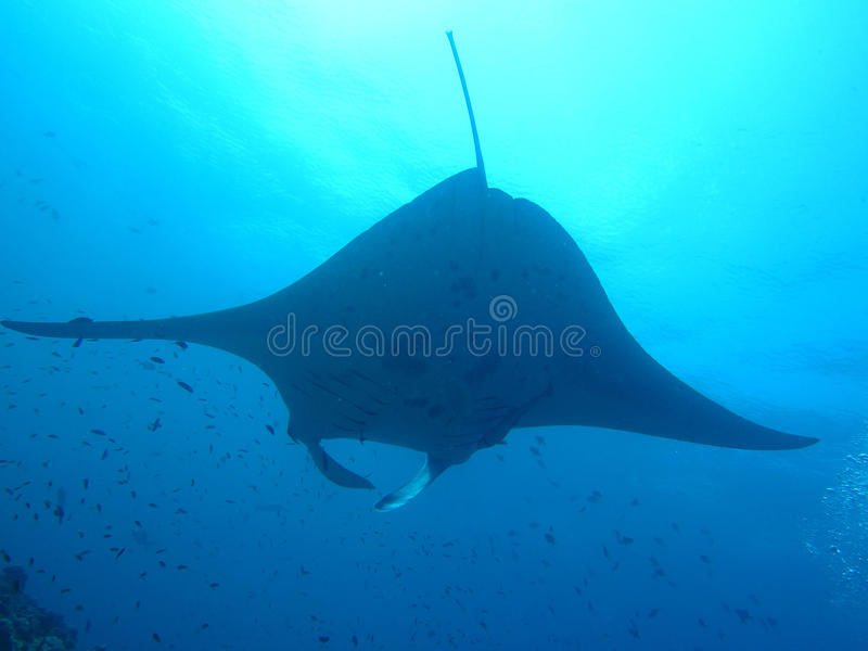 Raia de Manta de maldive imagens de stock