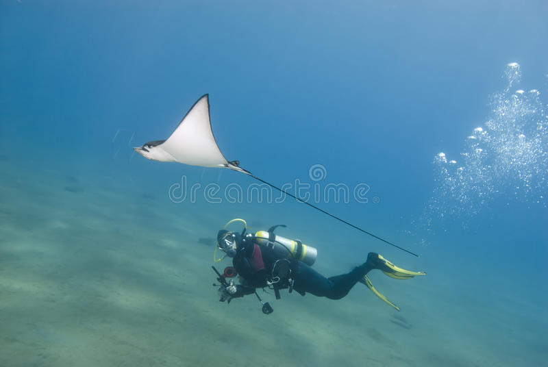 Raia do mergulhador e de águia do mergulhador. imagem de stock royalty free