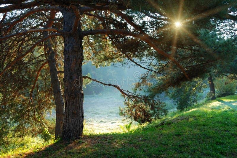Raias da árvore e do sol de pinho através das filiais fotos de stock