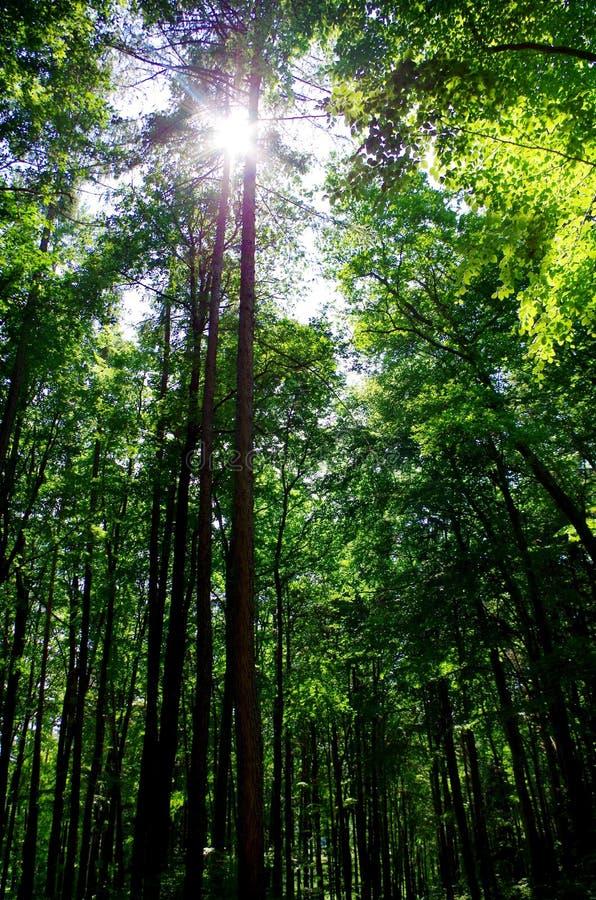 Raias de Sun na floresta fotos de stock