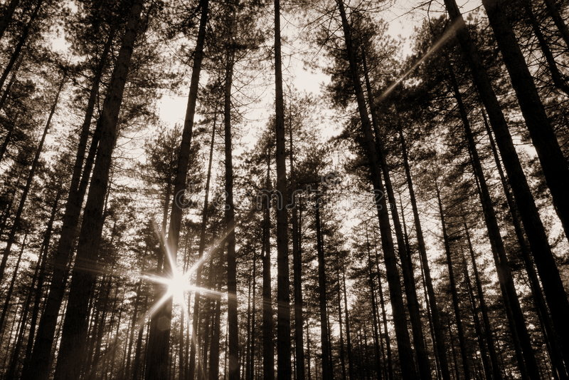 Raias de Sun nas madeiras fotos de stock