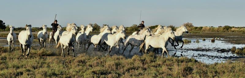 Raiders en Kudde van het Witte Camargue-paarden lopen royalty-vrije stock afbeeldingen