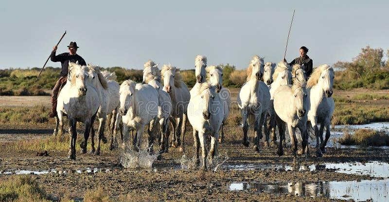 Raiders en Kudde van het Witte Camargue-paarden lopen stock fotografie