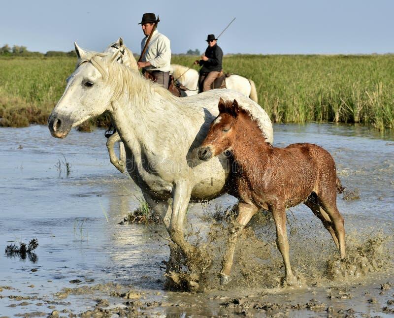 Raiders en Wit paard van Camargue met veulen die water doornemen royalty-vrije stock afbeelding