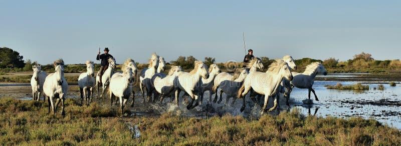 Raiders and Herd of White Camargue horses running stock photo