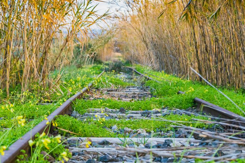 A railroad overgrowns with green grass and Oxalis pes-caprae goat`s-foot and Arundo donax giant cane. A railroad overgrown with green grass and yellow flowers royalty free stock photo