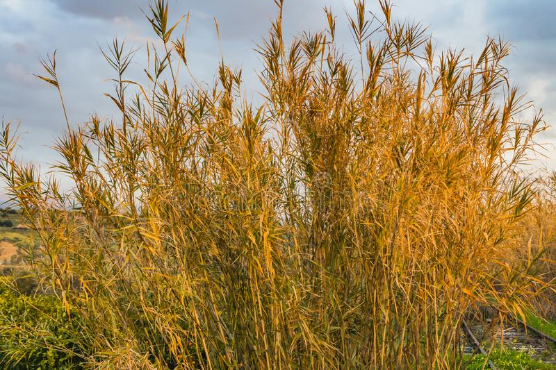 A railroad overgrowns with green grass and Oxalis pes-caprae goat`s-foot and Arundo donax giant cane. A railroad overgrown with green grass and yellow flowers royalty free stock images