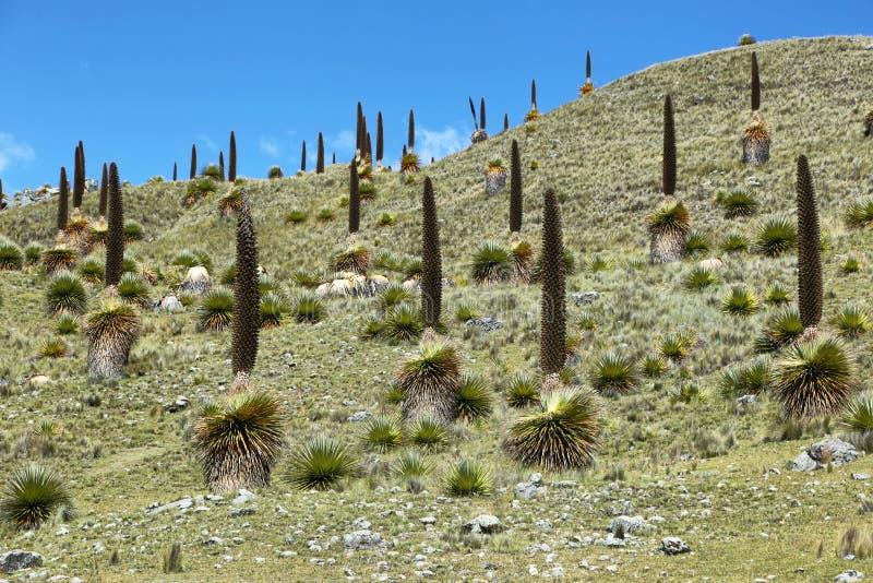 Raimondi di Puya, Huascaran, Perù fotografia stock libera da diritti