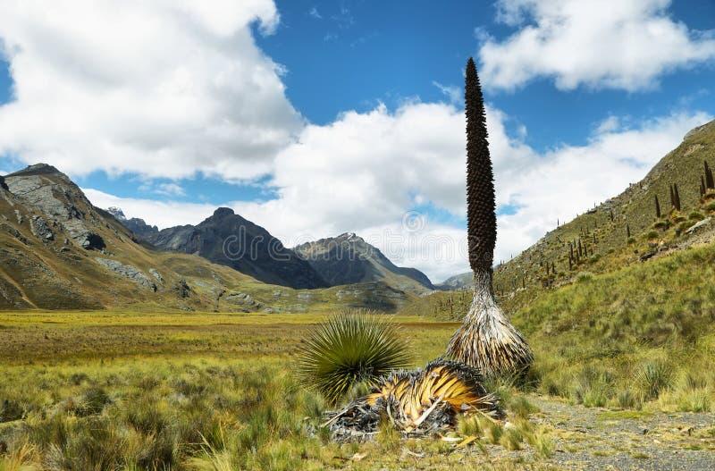 Raimondi di Puya, Huascaran, Perù fotografie stock libere da diritti