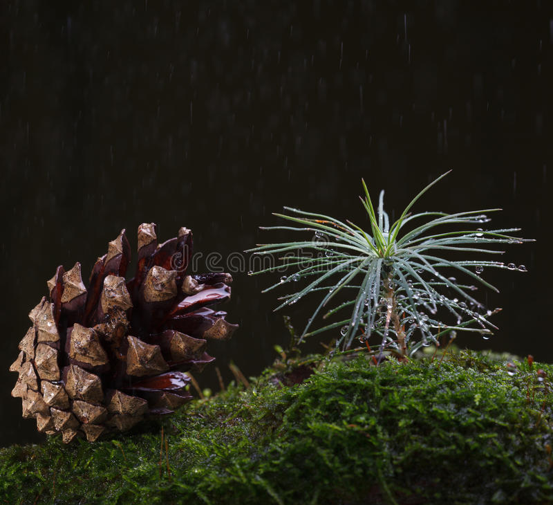 Free Rain And Tiny Fir Tree Royalty Free Stock Images - 80966819