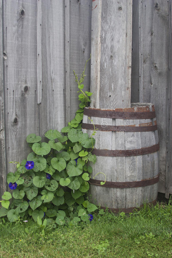Rain barrel and plants. Vines growing on rain barrel against a weathered wood background stock image