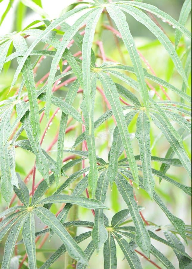 rain on cassava tree leaf