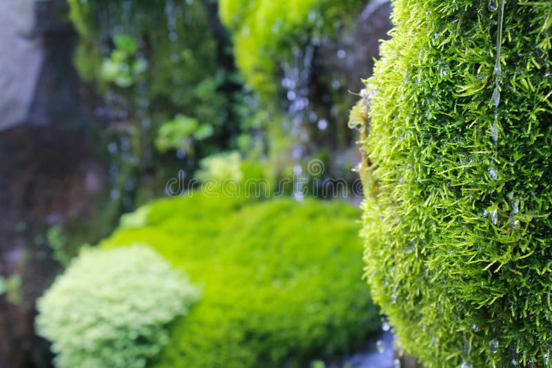 The Fresify green moss when rainy day. Rain comes out when secong shot taken. It taken when cloudy, the first shot was bit blury. Leaf Green Nature Rain Grass royalty free stock photo