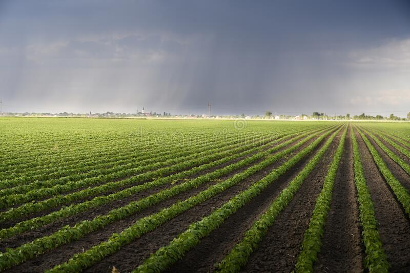 Rain coming over a soybean crop in spring stock photo