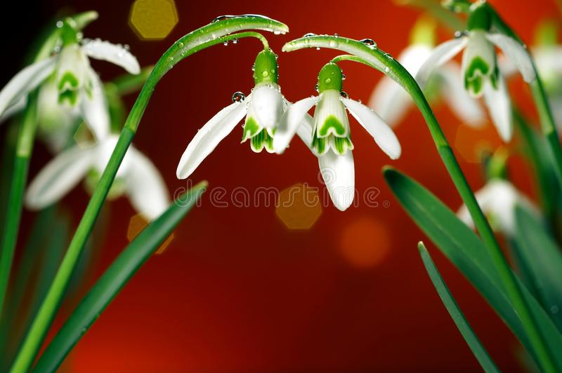 Rain-covered white-green winter flower, flowers, snowdrop, snowdrops on the background with bokeh stock photos