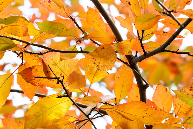 Rain Damaged Orange and Yellow Autumn Leaves royalty free stock images