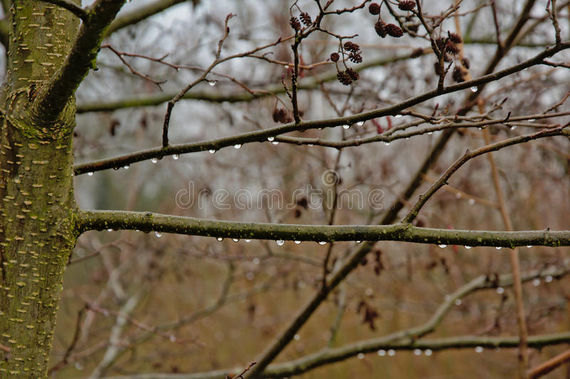 Rain drips on the branches of an alder tree, selective focus. Twigs of an alder tree with rain drips, light blue bokeh background stock photos