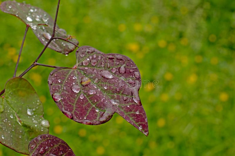 Rain drips on a heart shaped bloodleaf leaf in the garden - ireseine. Close-up of rain d rips on a heart shaped bloodleaf leaf in the garden, selective focus royalty free stock photography