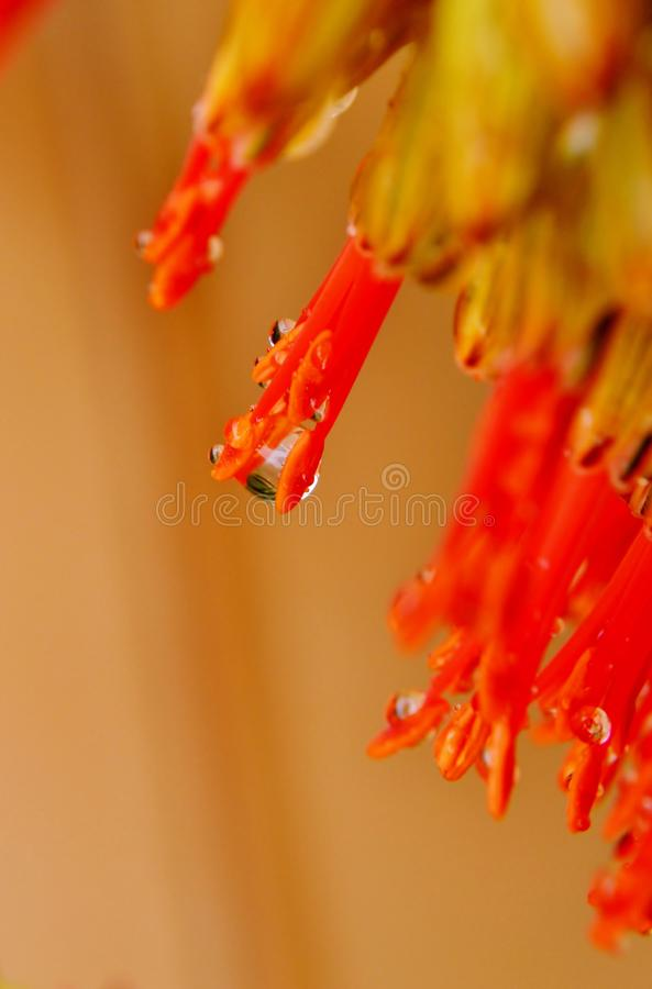 Download Rain drop stock photo. Image of floral, reflection, flower - 26634480
