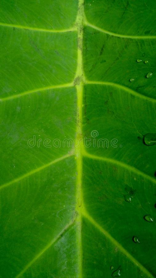 Rain drop on abstract green leaf background texture. Abstract green leaf background texture. Rain drop on leaf. Creative flat lay stock images
