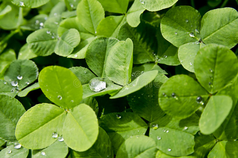 Download Rain drop on clover stock photo. Image of leafs, sharp - 26489424