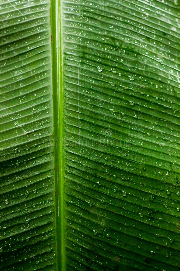 Rain drop on green banana leaf background. Nature green vivid banana leaf. Water clear raindrop. Transparent texture background royalty free stock photo