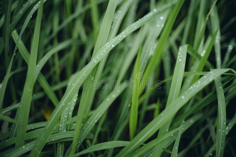 Rain drop on green grasses at overcast day royalty free stock photography