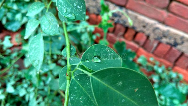 Rain drop on leaves stock images