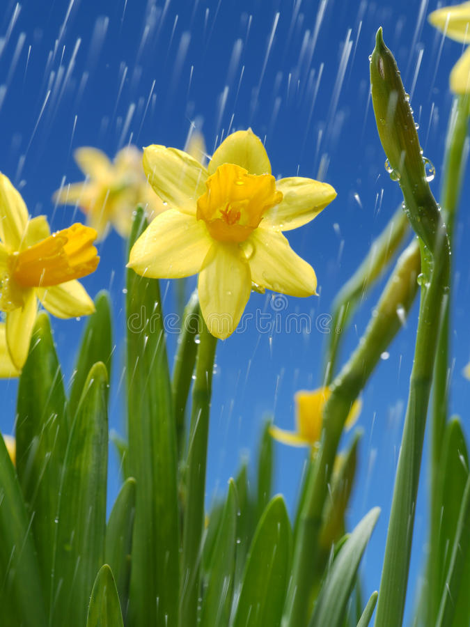 Download Daffodils Stock Photography - Image: 30222682