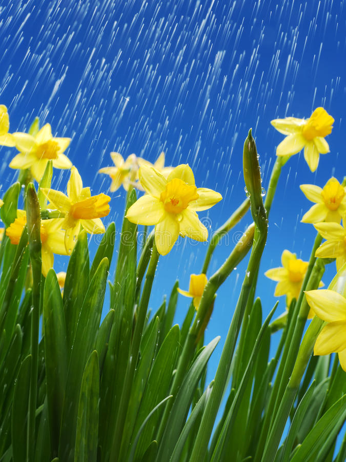 Download Daffodils stock photo. Image of nature, narcissus, bloom - 30227370