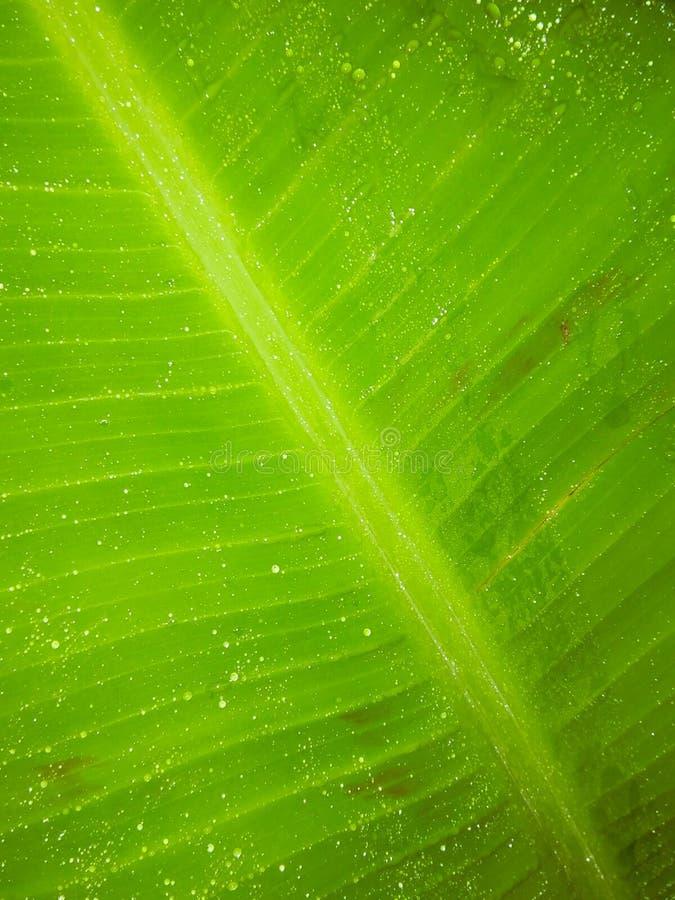 Rain drops in banana plant leaf night shoot mode in flash photography. Texture, green, closeup royalty free stock photos